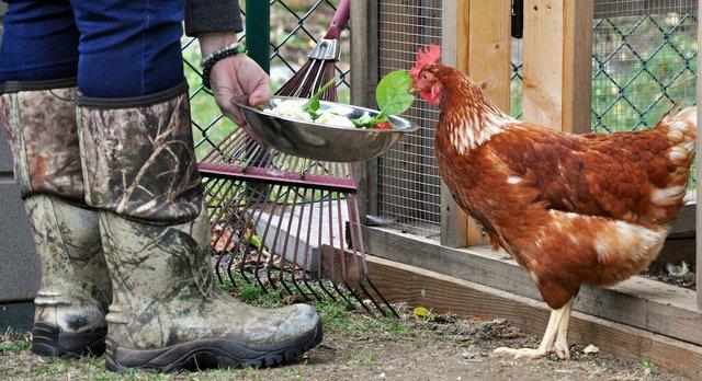 Consideraciones para emprendedores con aves de corral en sus hogares (Aves de patio)