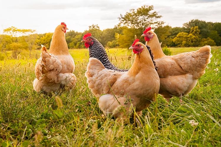 Necesidades de bienestar animal que requieres trabajar con tus aves domésticas y productivas