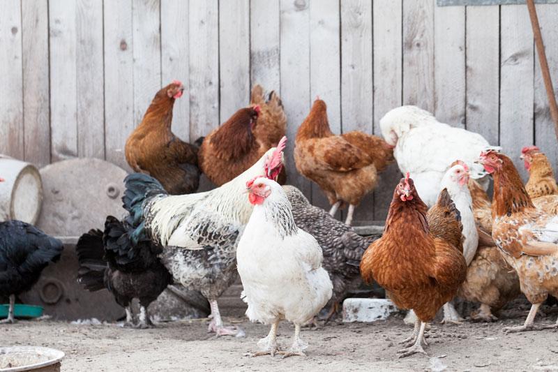 Estrés de aves en gallineros: El factor humano
